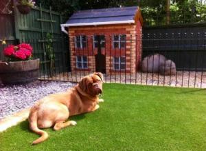 big dog on artificial grass