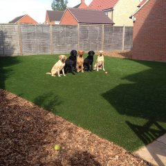 5 dogs on artificial grass